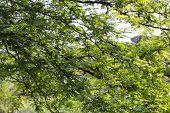 Green Leaves, Sun And Sky In The Pinewood  Near Marina Romea
