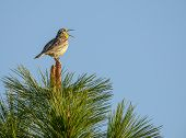 Western Meadowlark Sings