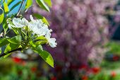 picture of garden eden  - Branches with white flowers on a background of green garden - JPG
