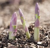 Growing process of asparagus shoots.