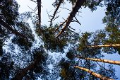 Silhouettes Of Pine Trees