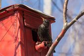 Starling Sits On A Red Birdhouse