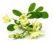 Edible Moringa Flower