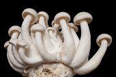 Shimeji Mushroom,edible mushrooms.