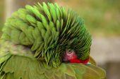 Great Green Macaw Hiding His Beak