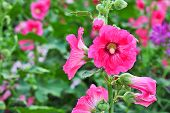 Beautiful Pink Hollyhock