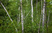 Green Birch Grove