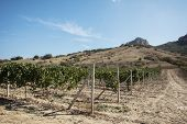 Crimean vineyards