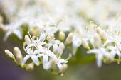 stock photo of dogwood  - Close up of the dogwood white flowers.