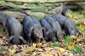 Vietnamese piglets