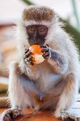 monkey Orange Thief
