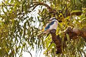 picture of kookaburra  - Australian Kookaburra bird standing on a tree - JPG