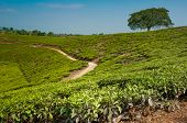 Tree In Tea Plantations