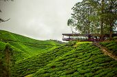 foto of malaysia  - This photo shows the Tea farms in Cameron highlands in Malaysia. 