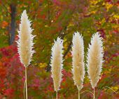 Pampas Grass in the Fall