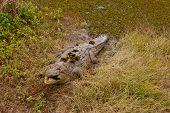 Wild saltwater crocodile