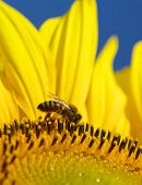 bee collects pollen in the sunflower