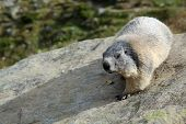stock photo of marmot  - Alpine Marmot  - JPG