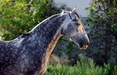 Beautiful portrait of a gray dapple horse on blurred green background