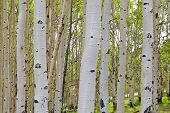 Birch tree barks