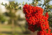 Close Up A Red Berry Pyracantha Coccina Shrub