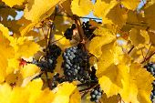 Blue Grapes With Yellow Leaves