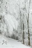 pic of alder-tree  - Winter scenery of a forest trail among frozen trees on a frosty January day - JPG