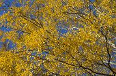 Yellow Leaves Against The Blue Sky.