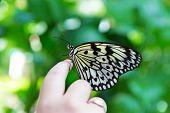 Girl hand finger Rice Paper butterfly Idea leuconoe in outdoor