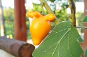 picture of nipple  - Nipple fruit The scientific name Solanum mammosum L - JPG