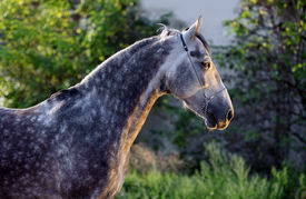 pic of dapple-grey  - Beautiful portrait of a gray dapple horse on blurred green background - JPG
