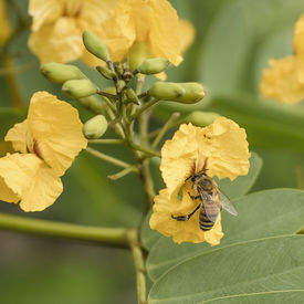 image of biodiversity  - Biodiversity honey bee collecting pollen from yellow flower in Spring  - JPG