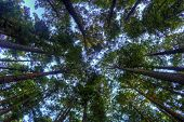 stock photo of redwood forest  - Color image of redwood trees - JPG