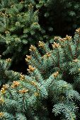 Blue Spruce Closeup