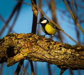 stock photo of tit  - A great tit sits on a Bough - JPG