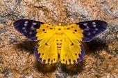 foto of moth  - Close up of Dysphania militaris moth puddling in nature - JPG