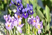 stock photo of purple iris  - A sunny spring scene of a Purple Gem iris plant behind Tomasinianus Barrs Purple crocus.