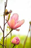 stock photo of magnolia  - Beautiful spring Magnolia flowers on blurred background - JPG