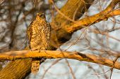 picture of goshawk  - Juvenile Northern Goshawk perched on a branch at the end of the day. ** Note: Soft Focus at 100%, best at smaller sizes - JPG