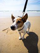 foto of jack russell terrier  - beautiful white jack russel terrier at sea  - JPG