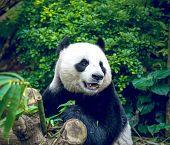 image of panda bear  - Hungry giant panda bear eating bamboo - JPG