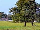 oak trees in the medow