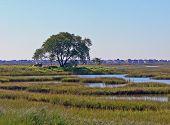 oak tree in the marsh