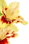 picture of gladiolus  - Beautiful colorful fresh red and yellow gladiolus isolated  - JPG