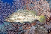 picture of pacific islands  - A Whitelined Rockcod also known as a Slender Grouper Anyperodon leucogrammicus in front of a pink gorgonian sea fan - JPG