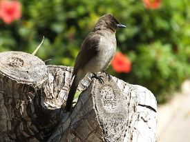 stock photo of bulbul  - Common Bulbul perched on top of tree stump