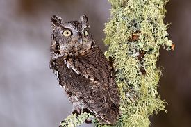 foto of screech-owl  - Eastern Screech Owl sits on a lichen covered branch. ** Note: Shallow depth of field - JPG