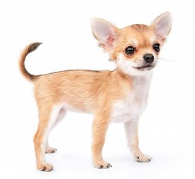 pic of chiwawa  - small cute chihuahua puppy standing on white background - JPG