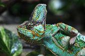 foto of chameleon  - Veiled chameleon  - JPG