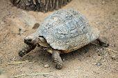 stock photo of tortoise  - Leopard tortoise  - JPG